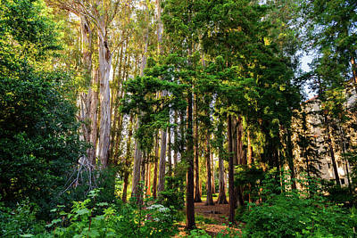 Photograph - Evening In Berkeley Forest by Jason Chu