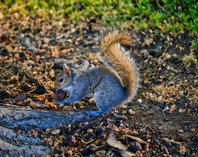 Photograph - Evening Light On Mr. Squirrel by Lynn Hopwood