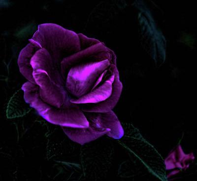 Photograph - Evening Light Rose by Aliceann Carlton