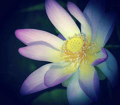 Photograph - Evening Lotus  by Julie Palencia