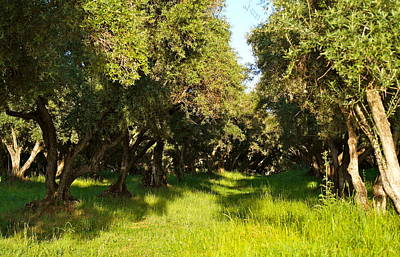 Photograph - Evening Olive Orchard by Michele Myers