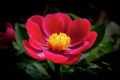 Photograph - Evening Peony by Charles Harden
