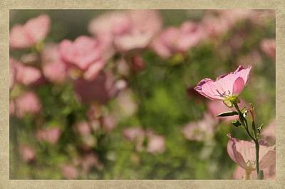 Photograph - Evening Primrose by Chris Berry
