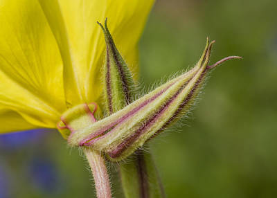 Photograph - Evening Primrose Flower From Below by Steven Schwartzman