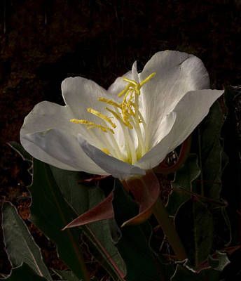 Landscape Photograph - Evening Primrose by Gary Wing