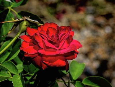 Photograph - Evening Rose by Diana Mary Sharpton