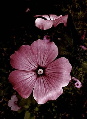 Photograph - Evening Rose Mallow by Danielle R T Haney