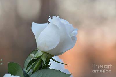 Dappled Light Photograph - Evening Rose by Maria Urso