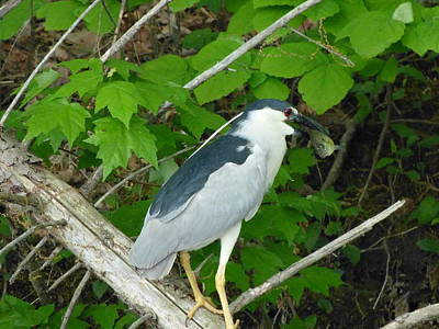 Art Print featuring the photograph Evening Snack For A Night Heron by Donald C Morgan