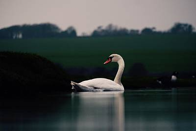 Photograph - Evening Swan by Will Gudgeon