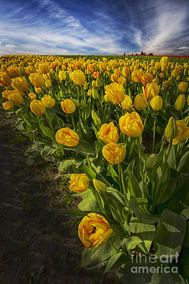 Photograph - Evening Tulips by Sonya Lang