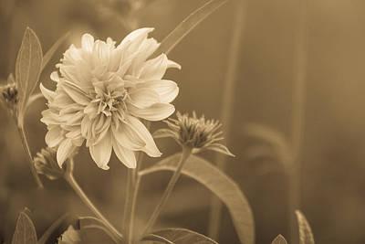 Photograph - Evening Wildflower In Sepia by Joni Eskridge