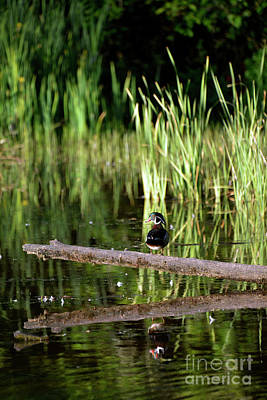 Photograph - Evening Wood Drake by Denise Bruchman