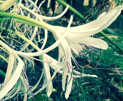 Photograph - Evening's Lily by Alohi Fujimoto