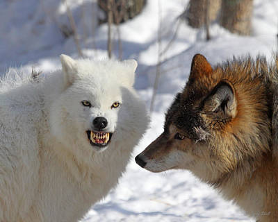 Arctic Wolf Photograph - Ever Thought About Flossing by Gerry Sibell