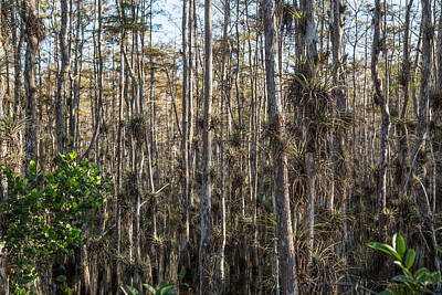 Light Photograph - Everglades Air Plants by J Darrell Hutto