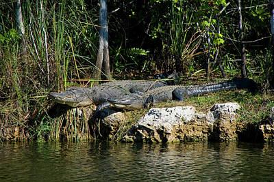 Michael Barry Photograph - Everglades Alligators by Michael Barry