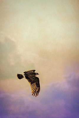 Photograph - Everglades Snail Kite by Richard Goldman