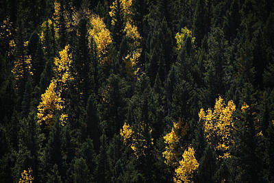 Tree Photograph - Evergreen And Aspen by Marilyn Hunt