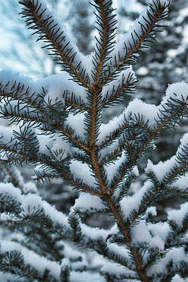 Photograph - Evergreen And White by Cathy Mahnke