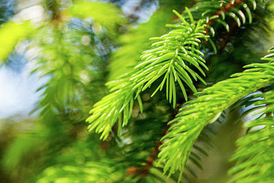 Photograph - Evergreen Growth by SR Green