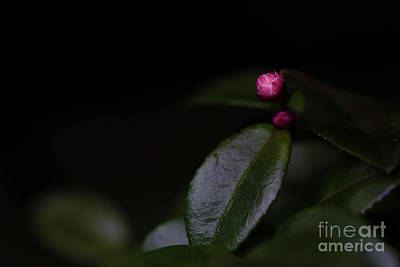 Evergreen Huckleberry Buds Art Print by Masako Metz