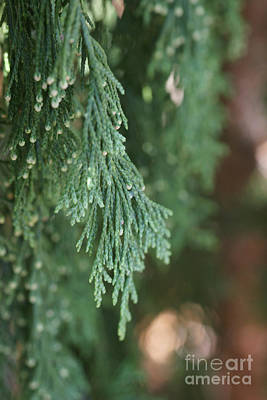 Photograph - Evergreen by Linda Shafer