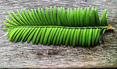 Evergreen On Wood 1 Art Print by James Aiken