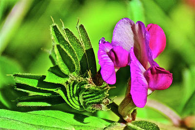 Photograph - Everlasting Pea Closeup On Muir Beach In Muir Woods National Monument, California  by Ruth Hager