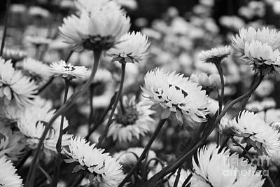 Photograph - Everlastings I by Cassandra Buckley