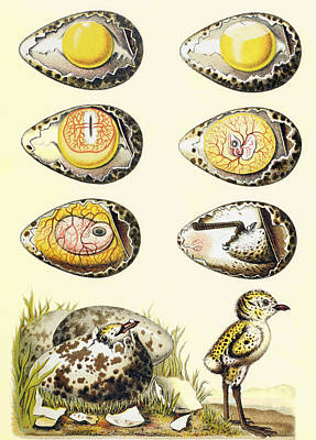 Fertilization Drawing - Evolution Of A Chicken Within An Egg by Vintage Design Pics
