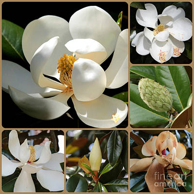 Photograph - Evolving Magnolia Collage by Carol Groenen