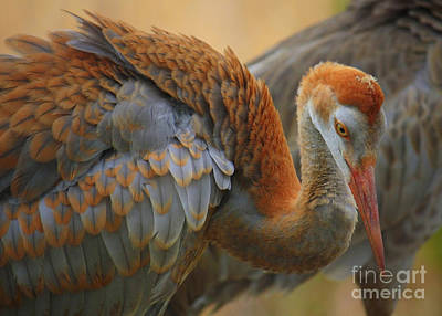Photograph - Evolving Sandhill Crane Beauty by Carol Groenen