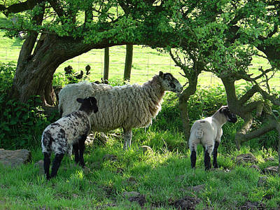 Cactus - Ewe and Lambs in the Shade by Rod Johnson