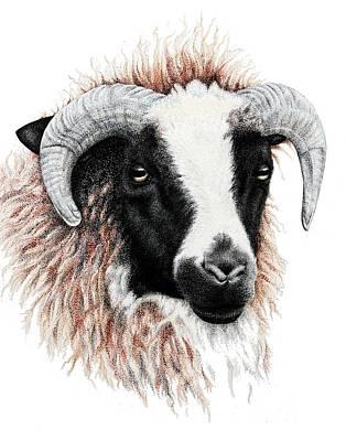 Ram Sheep Drawing - Ewe by Sandra Moore