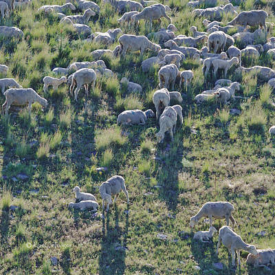 Photograph - Ewes And Lambs - Original by Kae Cheatham