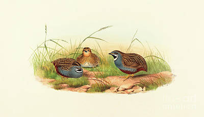 Flock Of Bird Drawing - Excalftoria Minima, Blue Breasted Quail by John Gould