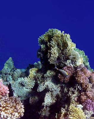 Sheep - Exciting Red Sea Sealife by Johanna Hurmerinta