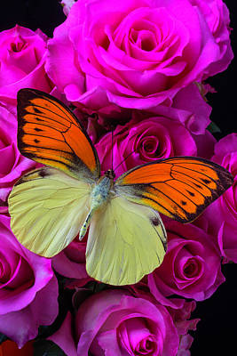 Butterfly Photograph - Exotic Butterfly On Pink Roses by Garry Gay