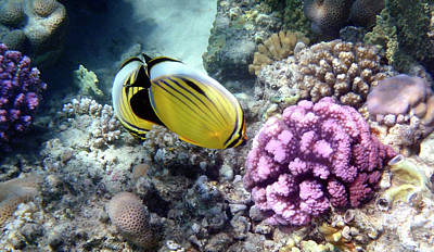 Photograph - Exotic Butterflyfish And Corals by Johanna Hurmerinta