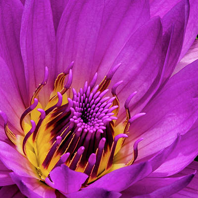 Royalty-Free and Rights-Managed Images - Exotic Hot Pink Water Lily Macro by Julie Palencia
