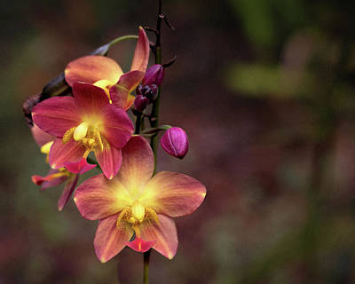 Photograph - Exotic Orchid 2 by Susan Rissi Tregoning