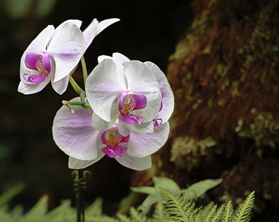 Photograph - Exotic Orchid by Susan Rissi Tregoning
