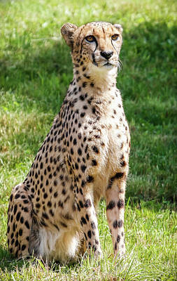 Photograph - Exotic Pet The Cheetah by Athena Mckinzie