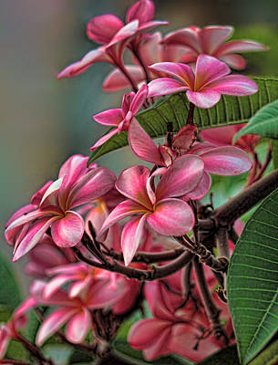 Photograph - Exotic Pink Plumeria by HH Photography of Florida