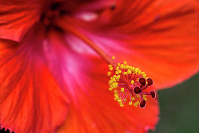 Photograph - Exotic Red Hibiscus Blossom by Kathy Clark
