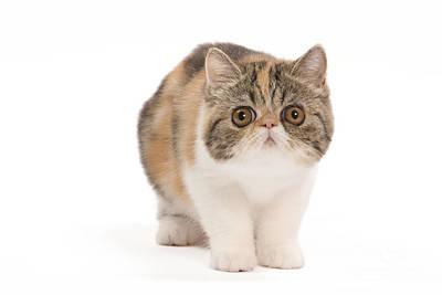 Exotic Shorthair Kitten Art Print by Jean-Michel Labat