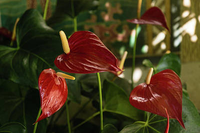 Photograph - Exotic Tropical Dream Garden - Sun Shade And Heart Shaped Anthurium Flowers by Georgia Mizuleva