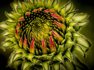 Photograph - Expanding Ecchinacea Bud by Jean Noren
