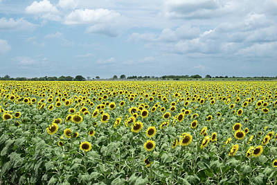 Kim Fearheiley Photography - Expansive sunflower field by Daniel Ray